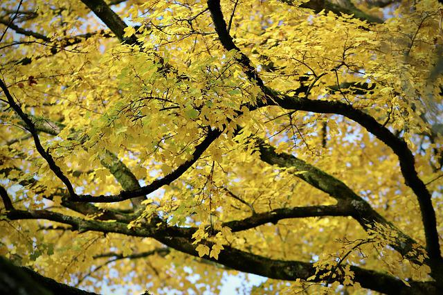 Fall Color, Maple, Autumn Colours, Yellow, Branches