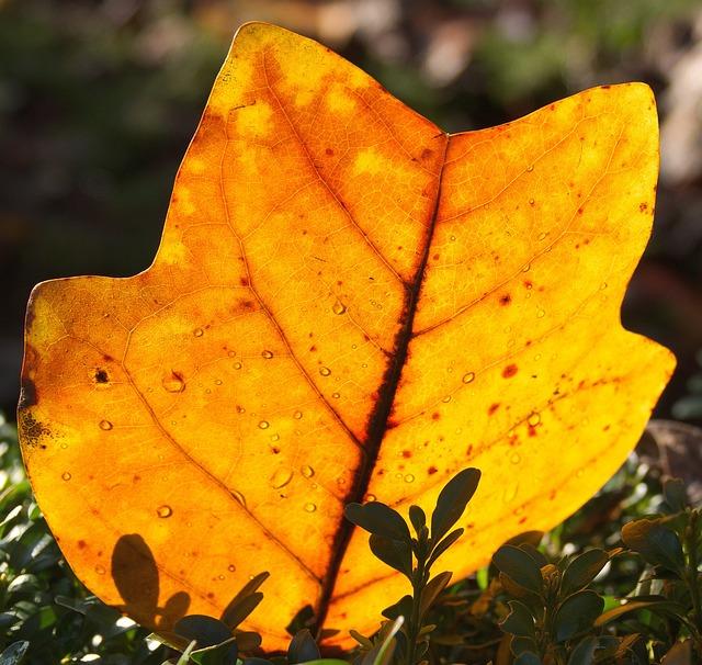 Leaf, Autumn, Maple, Change, Plant, Tree, Nature