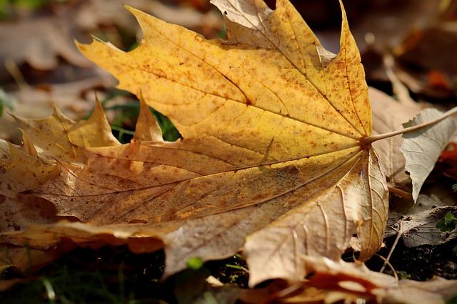 Maple, Fall Foliage, Favor, Yellow, Fall Color, Autumn