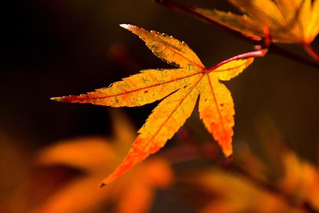 Leaf, Autumn, Maple, Plant, Nature, Golden