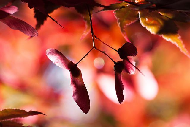 Maple, Autumn, Infructescence, Seeds, Nose Zwicker, Red