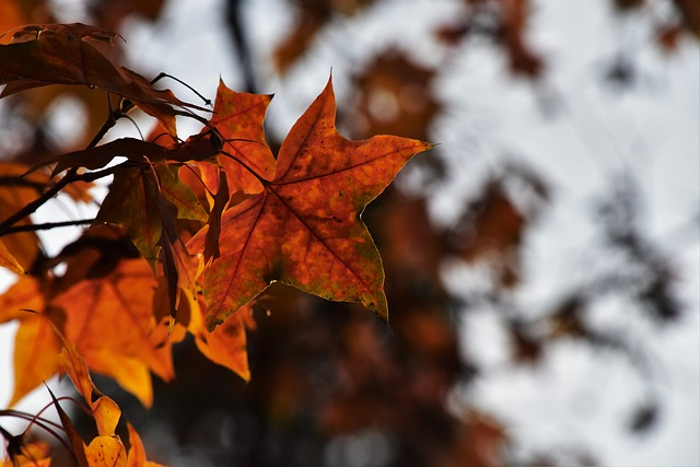 Red Leaves, Maple, Light And Shadow, Leaf, Autumn