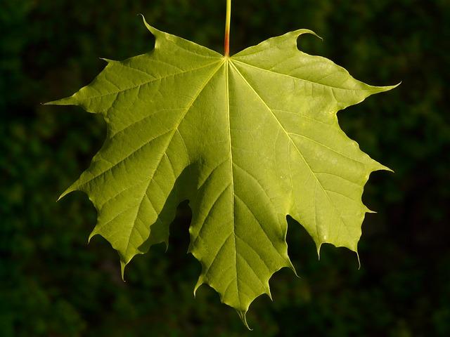 Maple, Maple Leaf, Leaf, Tree, Green, Veins