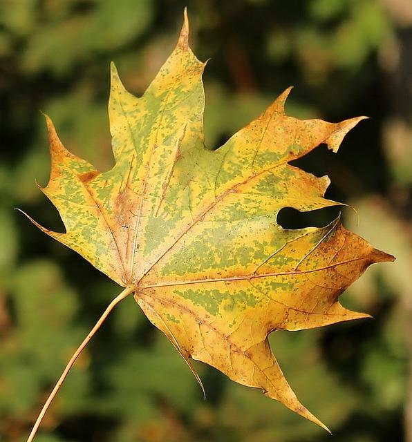 Maple Leaf, Leaf, Autumn, Fall Color, Forest, Leaves