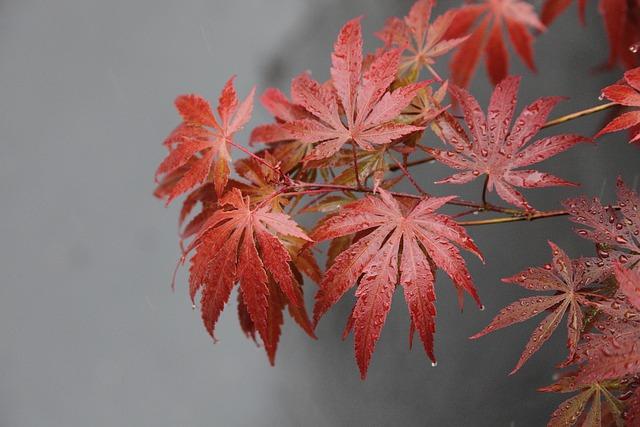 Fall, Maple Leaf, Plant