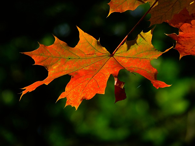 Autumn, Leaf, Colorful, Leaves, Maple, Red Leaf