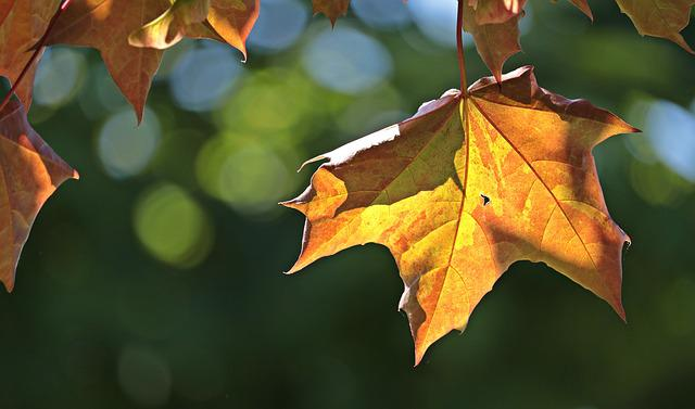 Maple Leaves, Leaves, Maple, Nature, Sun, Color