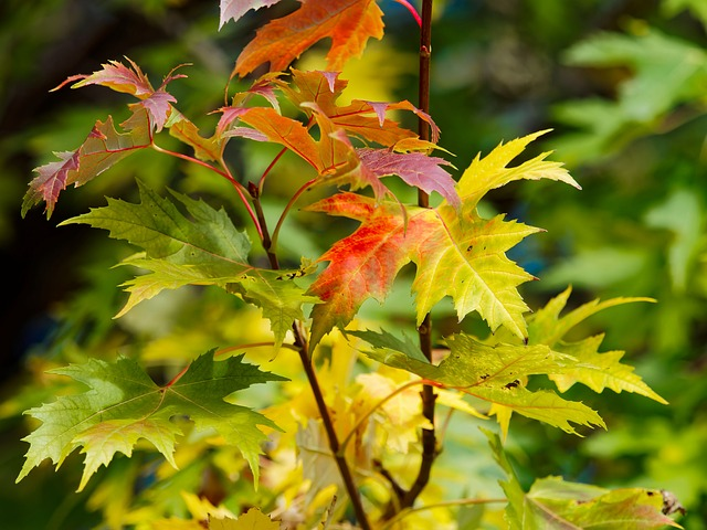 Leaves, Maples, Red Leaves, Maple Leaves, Fall