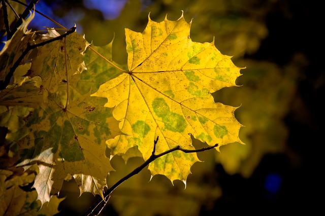 Maple, Leaf, Maple Leaves, Fall, Autumn, Nature