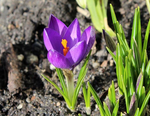 Krokus, Harbinger Of Spring, March, Spring Flowers