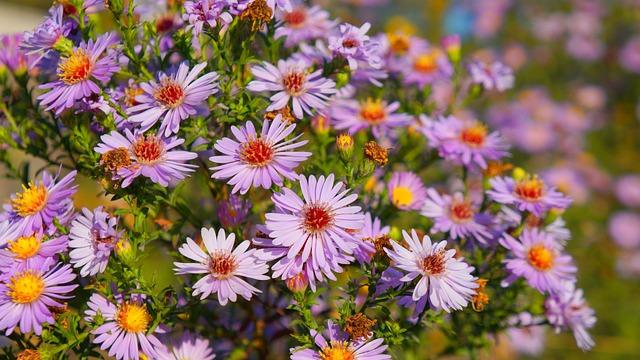 Nature, Plants, Flowers, Flourishing, Astra, Marcinki