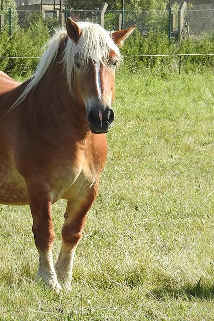 Horse, Kaltblut, Mare, Mane, Pferdeportrait