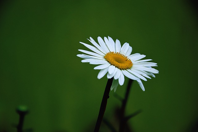 Margaret, Summer, Flower, White Daisy