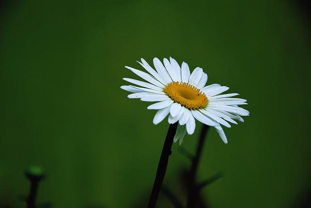 Margaret, Summer, Flower, White Daisy