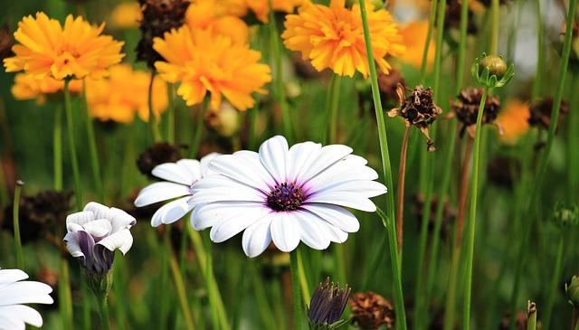 Marguerite, Flower, Plant, Blossom, Bloom, Bloom, Flora