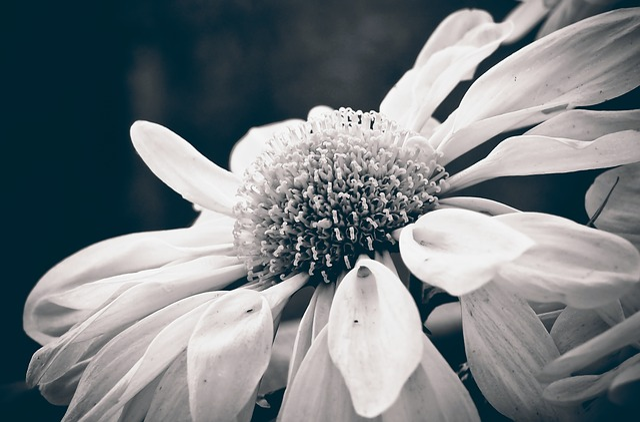 Marguerite, Flower, Nature, Blossom, Bloom, Plant