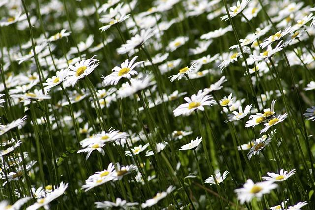 Marguerite, Flora, Flower, Nature, Plant, White, Summer