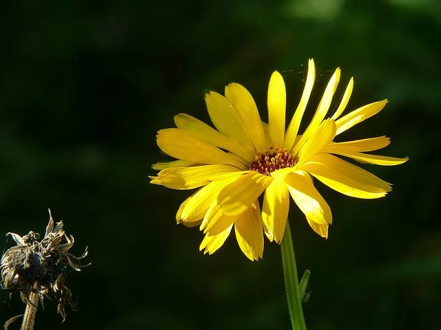 Marigold, Calendula, Flower Meadow