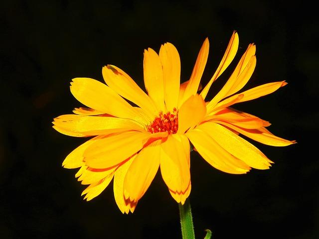Marigold, Calendula, Calendula Officinalis
