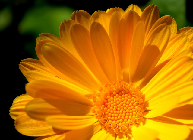 Marigold, Blossom, Bloom, Yellow, Close Up, Garden