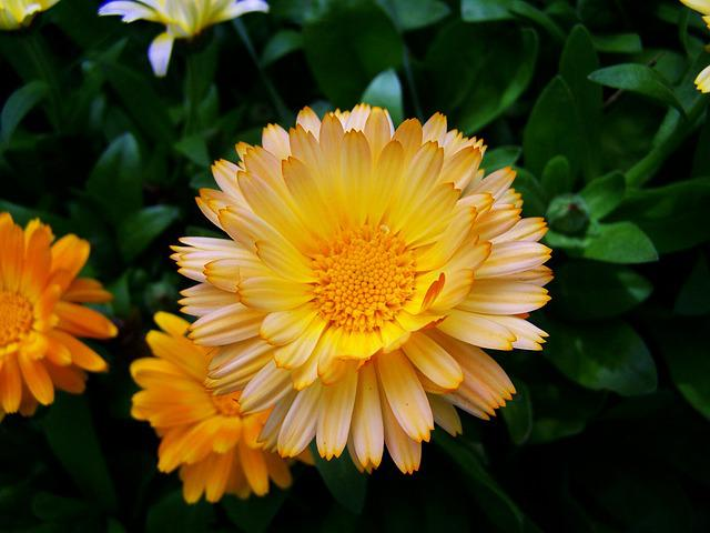 Marigold, Flower Garden, Herb