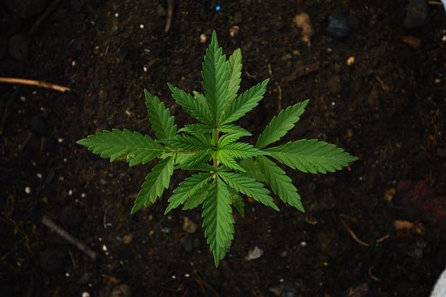 Green, Grass, Ganja, Maria, Cannabis, Marijuana, Field