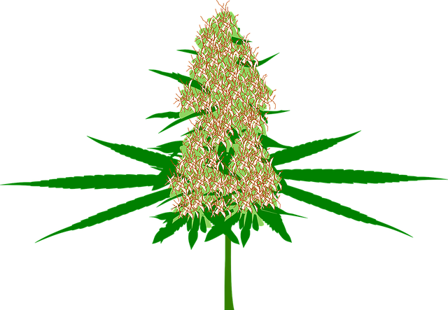 Cannabis, Bud, Marijuana, Hemp, Plant, Medicine, Pot