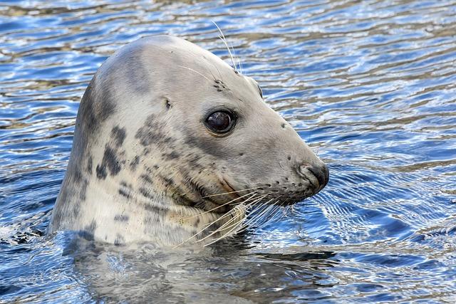Seal, Water, Head, Animal, Marin