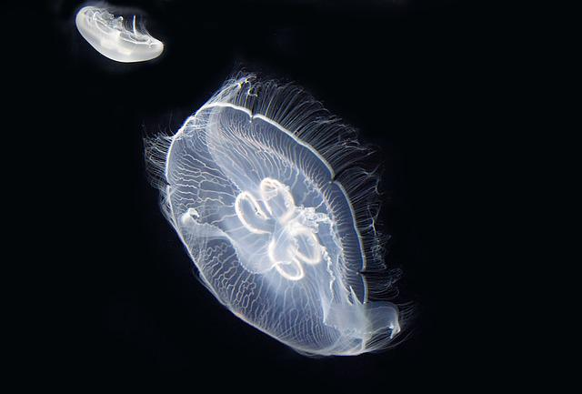 Jellyfish, Sea, Cnidarians, Marine Animal, Urticant
