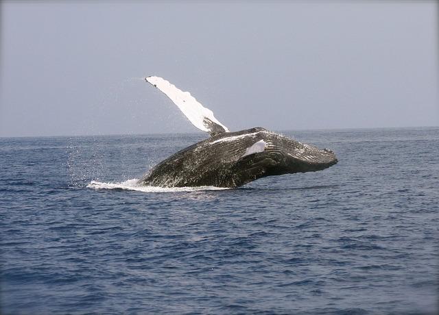 Whale, Breaching, Ocean, Mammal, Marine, Humpback, Tail