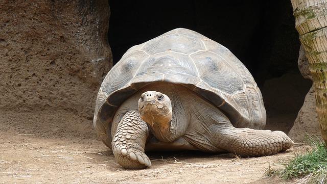 Turtle, Marine, Giant Tortoise