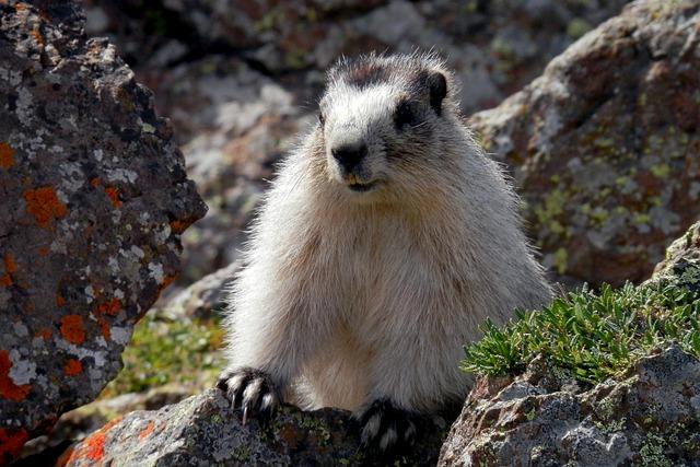 Marmot, Brower's Marmot, Alaska, Wildlife, Denali
