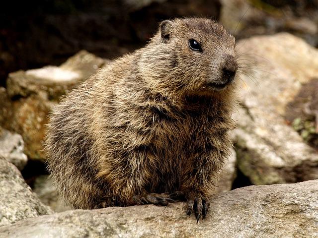 Marmot, Rodent, Close