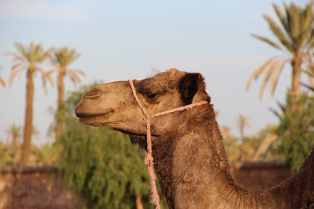 Camel, Marrakech, Animal