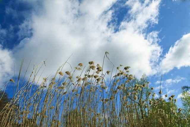 Reed, Sky, Teichplanze, Marsh Plant, Clouds