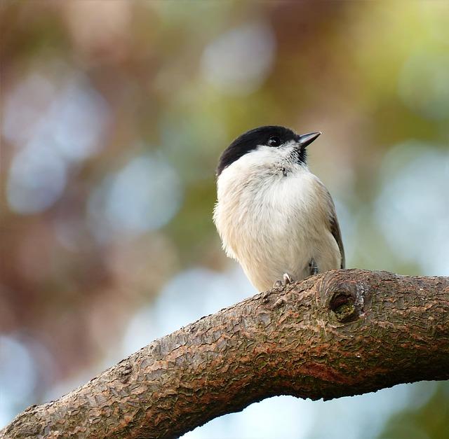 Animal, Bird, Songbird, Tit, Marsh Tit