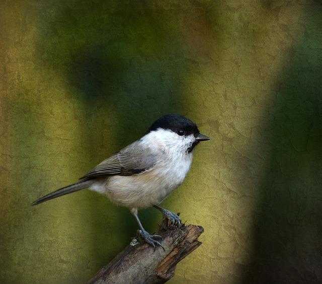 Marsh Tit, Tit, Bird, Garden, Songbird, Texture
