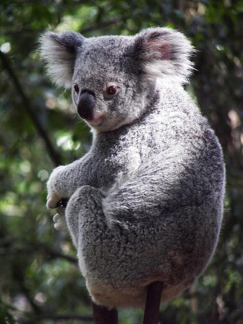 Koala, Australia, Koala Bear, Marsupial, Queensland