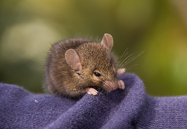 Antechinus, Marsupial Mouse, Marsupial, Native