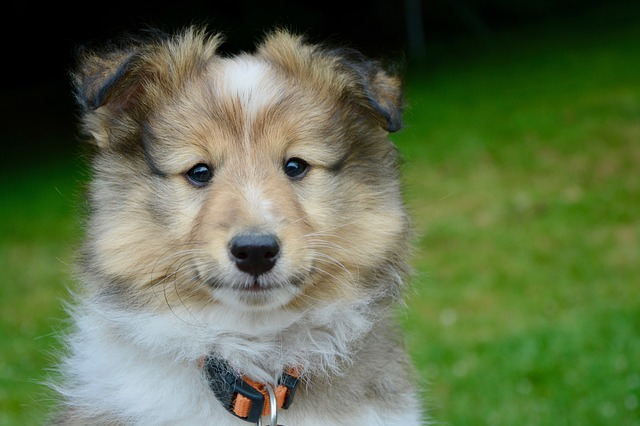 Dog, Puppy, Pup, Shetland Sheepdog, Mascot, Animal