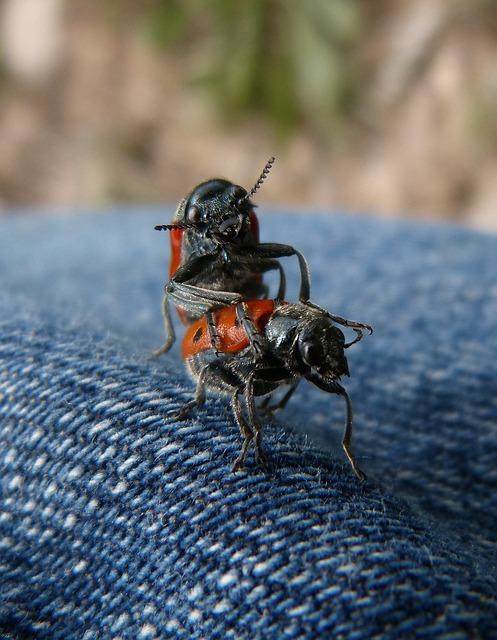 Mating, Copulation, Insects, Mylabris Quadripunctata