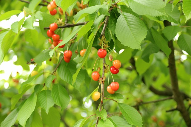 Cherries, Fruit Tree, Fruit, Maturation, Spring, Sprig