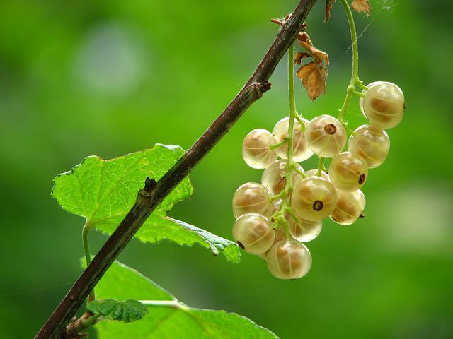 Currant, Immature, Mature, Bush, Berry