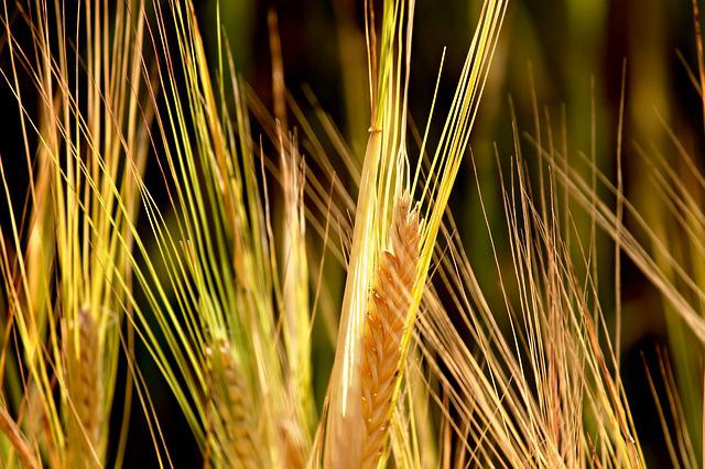 Rye, Cereals, Spike, Mature, Immature, Cornfield, Field