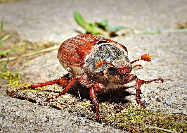 May Beetle, Macro, Closeup, Insect
