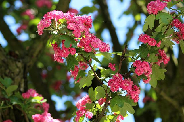 Tree, Crataegus, Flowering, Spring, May, Gałacki