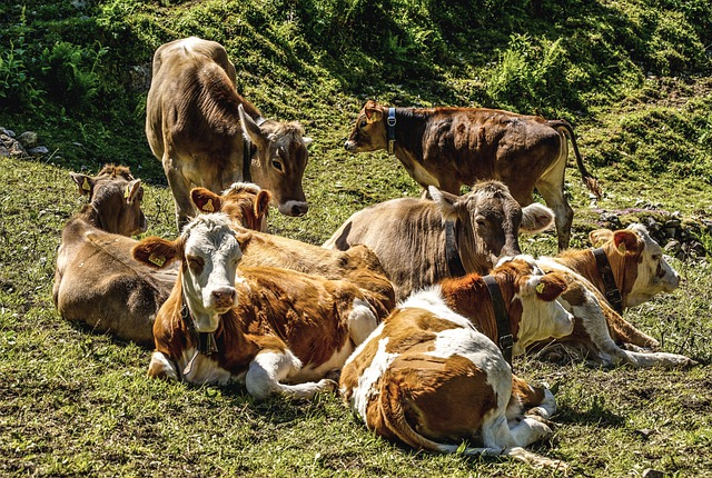 Cows, Cattle, Flock, Agriculture, Pasture, Meadow