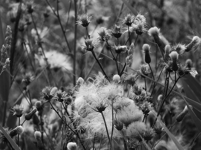 Meadow, Black And White, Black And White Photo, Fluff