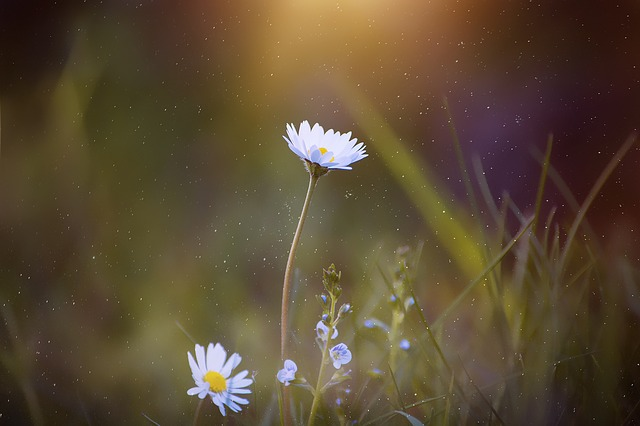 Daisy, Pointed Flower, Flower, Meadow, Blossom, Bloom