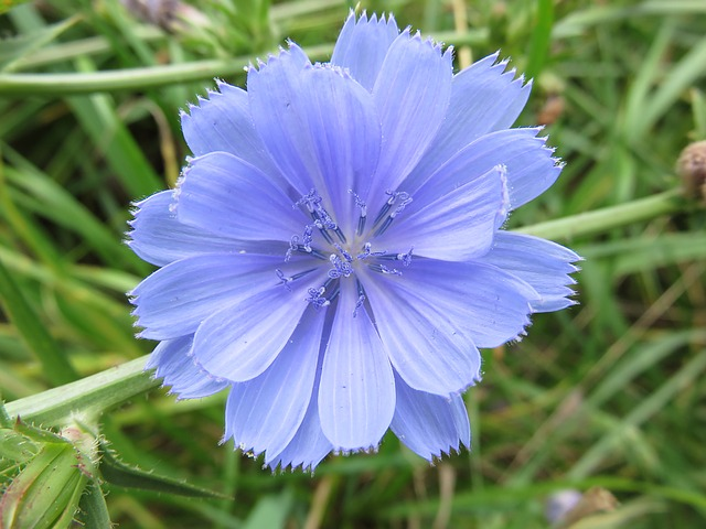 Wildflower, Chicory, Blue, Blossom, Flower, Meadow
